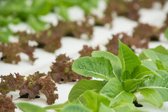 Organic hydroponic vegetable. Royalty Free Stock Photos