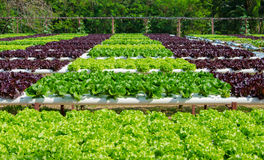 Organic hydroponic vegetable cultivation farm.  Royalty Free Stock Photography