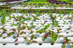 Organic hydroponic vegetable cultivation farm Royalty Free Stock Photography