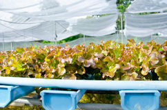 Organic hydroponic vegetable cultivation. Stock Images
