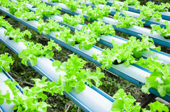 Organic hydroponic vegetable cultivation farm Stock Images