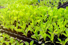 Organic hydroponic vegetable cultivation Royalty Free Stock Photography