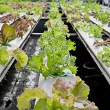 Organic hydroponic vegetable cultivation farm - close up. Royalty Free Stock Image
