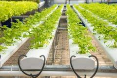 Organic hydroponic vegetable cultivation farm,cultivation hydroponic green vegetable,coriander stock image