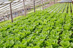 Organic hydroponic vegetable cultivation farm. Stock Image