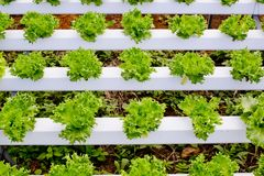 Organic hydroponic vegetable cultivation farm. Royalty Free Stock Images