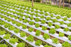 Organic hydroponic vegetable cultivation farm. Stock Photography