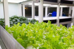 Organic hydroponic vegetable cultivation farm Royalty Free Stock Images