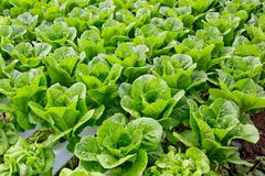 Organic hydroponic vegetable cultivation farm. Royalty Free Stock Photos