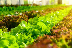 Organic hydroponic vegetable cultivation farm Royalty Free Stock Photo