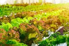 Organic hydroponic vegetable cultivation farm Royalty Free Stock Image