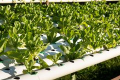 Organic hydroponic vegetable cultivation farm. Young and fresh vegetable green color in white tray in hydroponic farm for health market Stock Photography