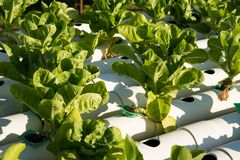 Organic hydroponic vegetable cultivation farm. Young and fresh vegetable green color in white tray in hydroponic farm for health market Royalty Free Stock Photos