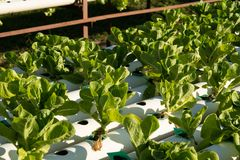 Organic hydroponic vegetable cultivation farm. Young and fresh vegetable green color in white tray in hydroponic farm for health market Royalty Free Stock Photography