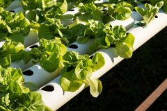 Organic hydroponic vegetable cultivation farm. Young and fresh vegetable green color in white tray in hydroponic farm for health market Stock Images