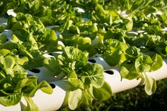 Organic hydroponic vegetable cultivation farm. Young and fresh vegetable green color in white tray in hydroponic farm for health market Stock Photos