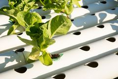 Organic hydroponic vegetable cultivation farm. Young and fresh vegetable green color in white tray in hydroponic farm for health market Stock Photo
