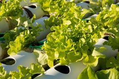 Organic hydroponic vegetable cultivation farm. Young and fresh vegetable green color in white tray in hydroponic farm for health market Royalty Free Stock Images