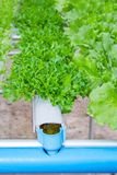 Organic hydroponic vegetable in a farm, agricultur Royalty Free Stock Photo