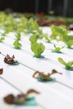 Organic Hydroponic vegetable farm. Stock Image