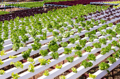 Organic hydroponic vegetable farm Stock Photo
