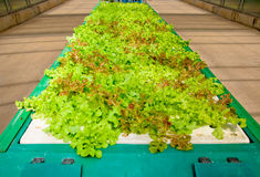 The Organic hydroponic vegetable garden Stock Image