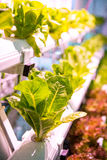 Organic hydroponic vegetable garden. The Organic hydroponic vegetable garden stock photos