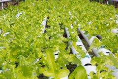 Organic hydroponic vegetable garden Royalty Free Stock Photos