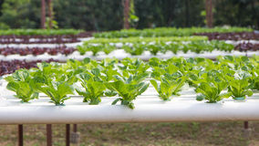 Organic hydroponic vegetable garden Stock Image