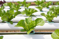 Organic hydroponic vegetable garden Stock Images