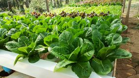 Organic hydroponic vegetable garden open farm royalty free stock images