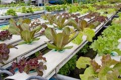 Organic hydroponic vegetable garden  Thailand merket Stock Photography