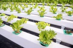 Organic hydroponic vegetable. Stock Image