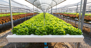 Organic hydroponics lettuce cultivation farm. Royalty Free Stock Images