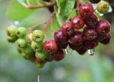 Organic immature Aronia berry close up stock images