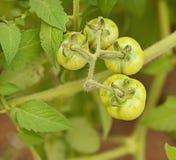 Organic immature green tomatoes Stock Photos