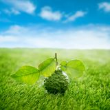 Organic kaffir lime on green lawn with blue sky Royalty Free Stock Image