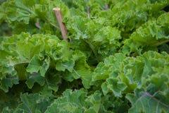 Organic kale Royalty Free Stock Image
