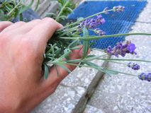 Organic lavender plant in the hand of girl. Lavender plant in the hand of girl stock image