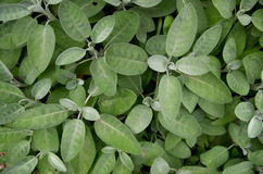Organic leaves of sage in a field Stock Image