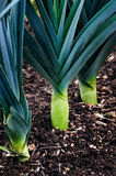 Organic leeks growing on compost soil home gardening Royalty Free Stock Images