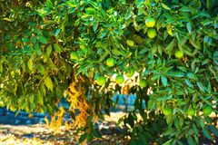 Organic Lemon Tree Stock Photography