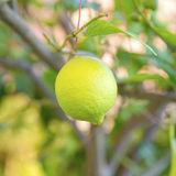 Organic lemon tree Stock Images