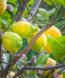 Organic Lemons Stock Photos