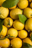 Organic lemons with leaves and stems. Organic lemons with natural imperfections, close up view Stock Photos