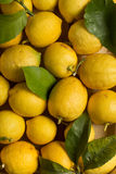 Organic lemons with leaves and stems. Organic lemons with natural imperfections, close up view Royalty Free Stock Images