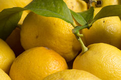 Organic lemons with leaves and stems. Organic lemons with natural imperfections, close up view Royalty Free Stock Photos