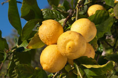 Organic Lemons in Sunshine on a Tree Stock Photo