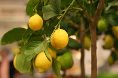 Organic lemons on tree in the pot Royalty Free Stock Image