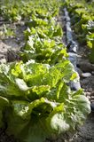 Organic lettuce Stock Images
